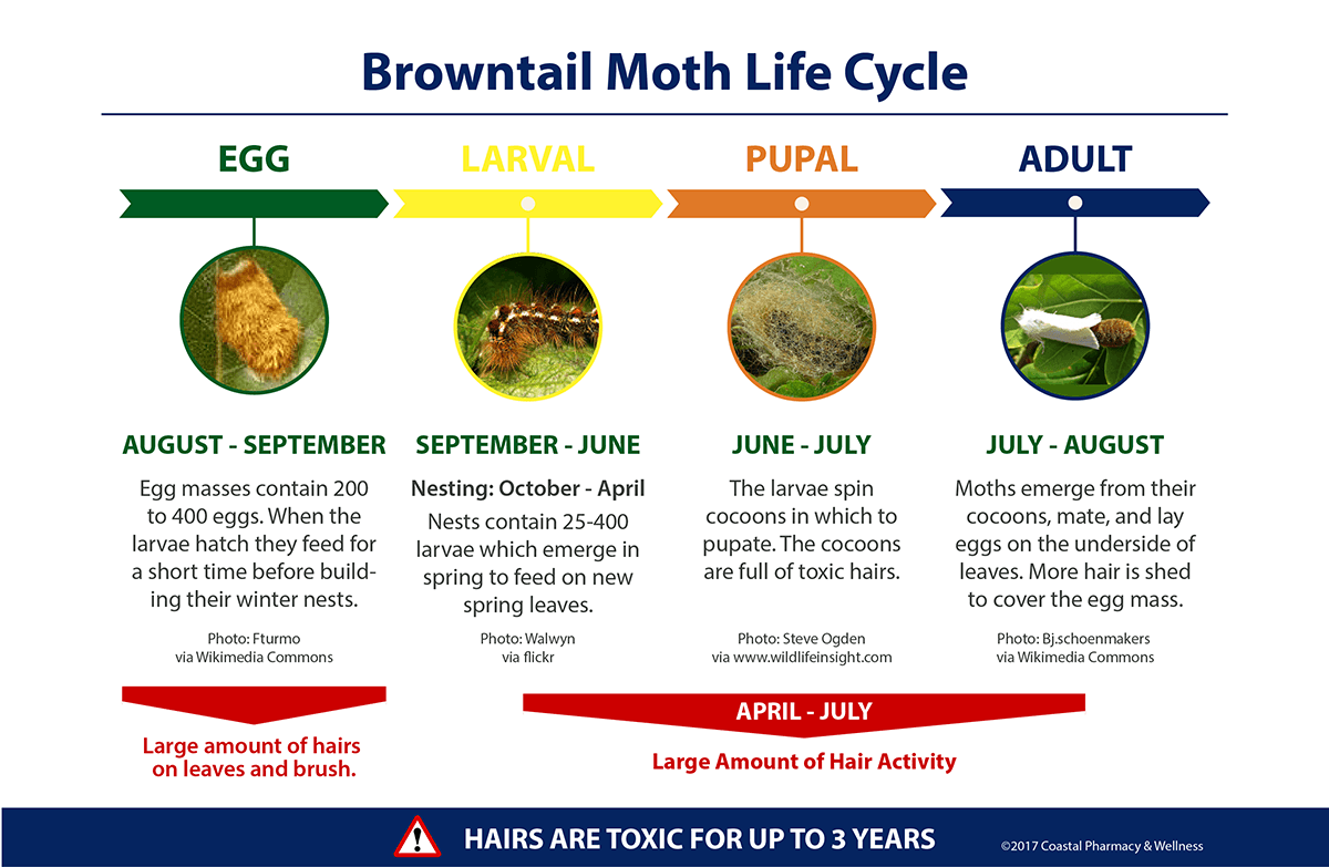 Browntail Moth Life Cycle